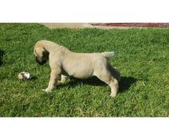 Registered Purebred puppies for sale (must have)!