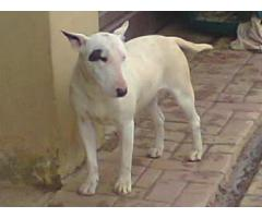 Bull Terrier female