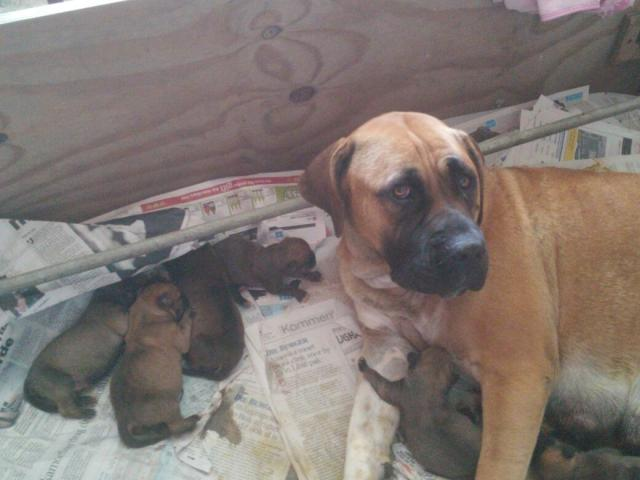 Purebred boerboel puppies for sale!!!