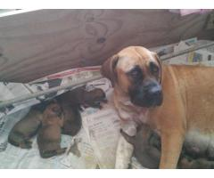 Purebred boerboel puppies for sale!!!