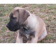 PUREBRED boerboel puppies for sale @ SPECIAL PRICE!!!
